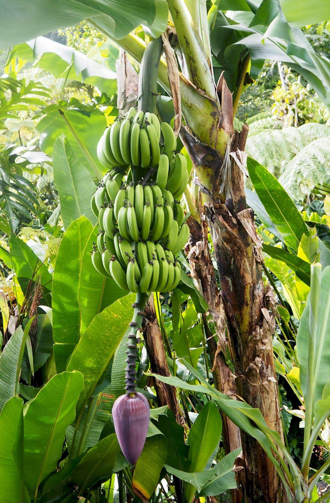 régiment bananes