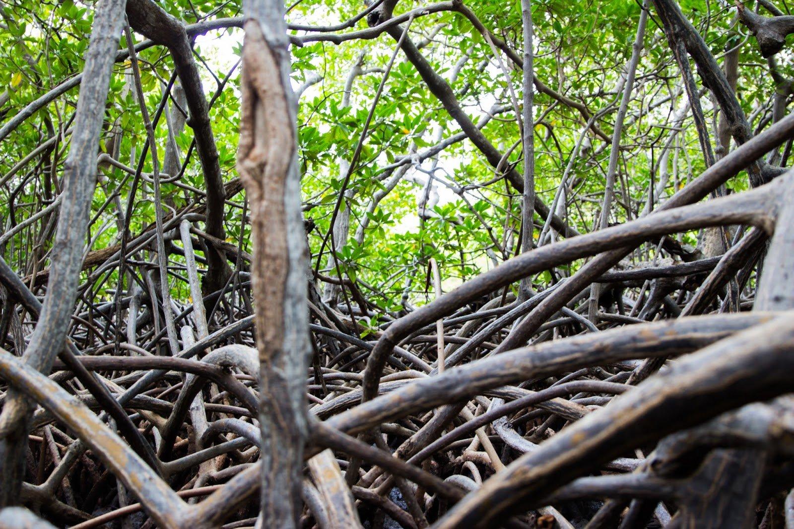 Mangrove Nord de la Martinique