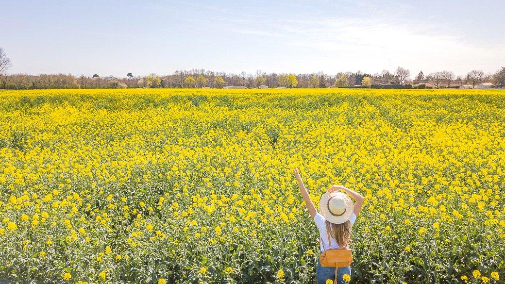champ fleurs jaune colza