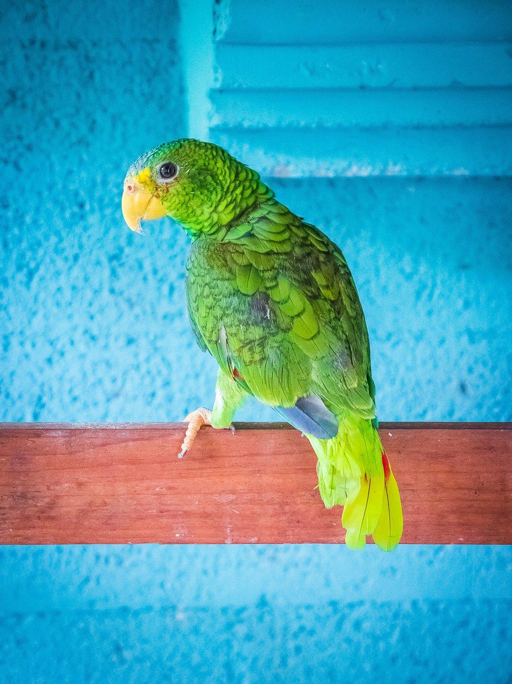 perroquet Mexique