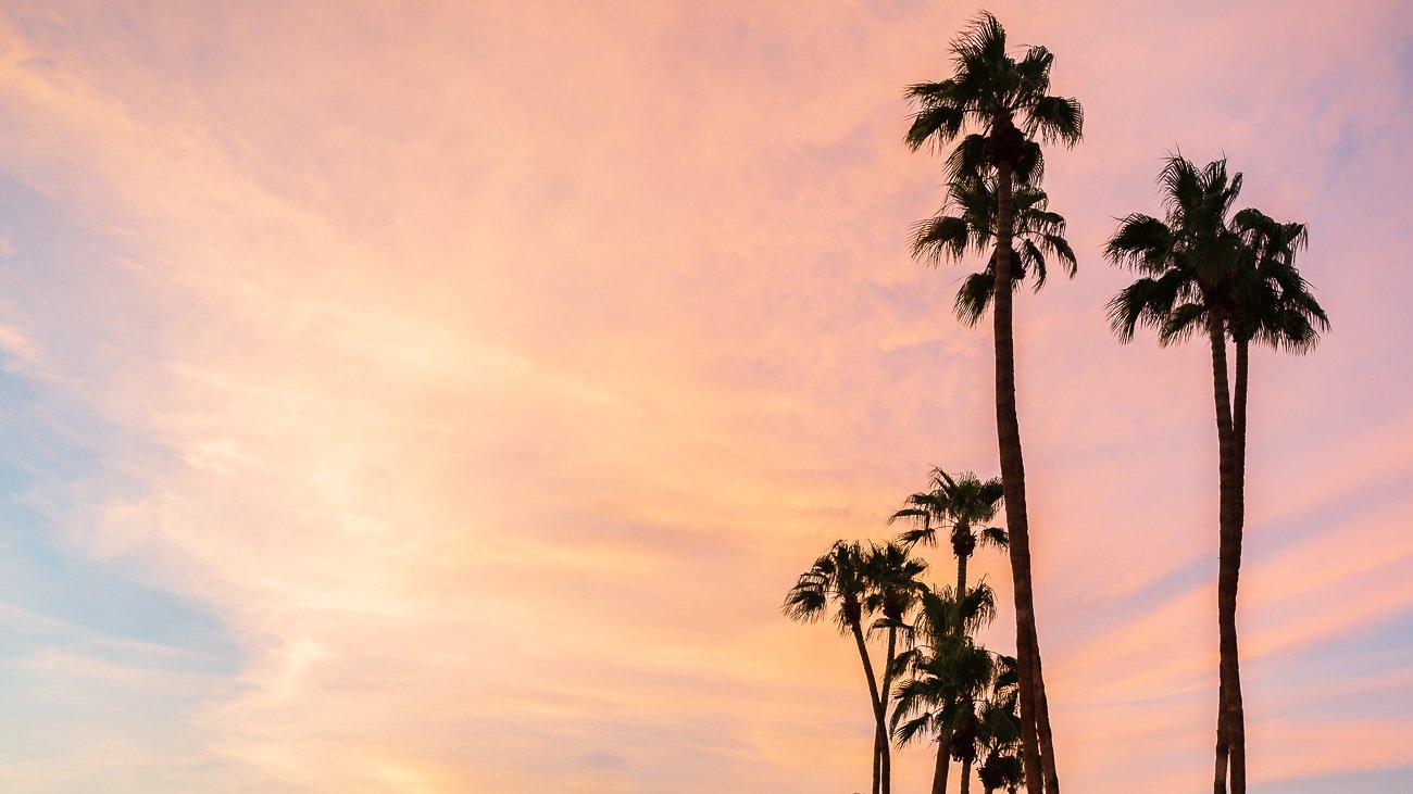 Palmier californie